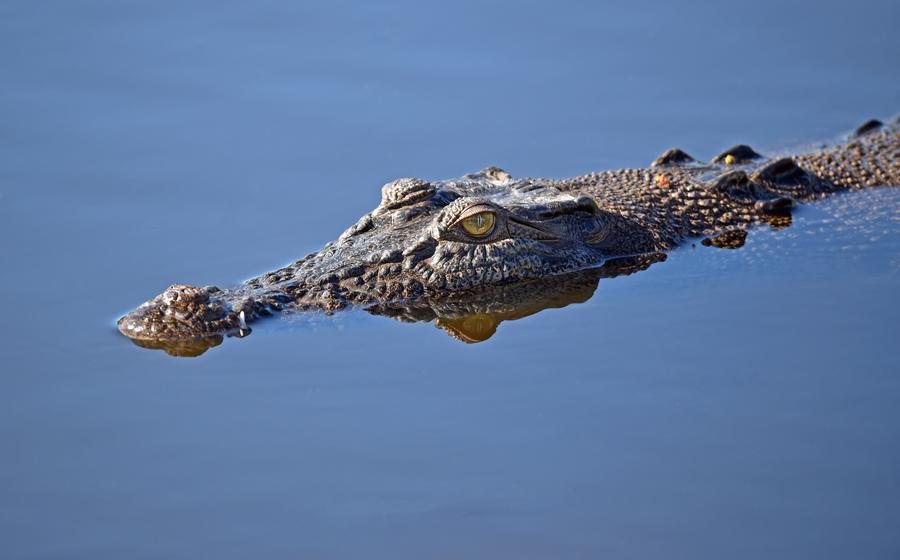 Alligator Lurking, Waiting To Attack