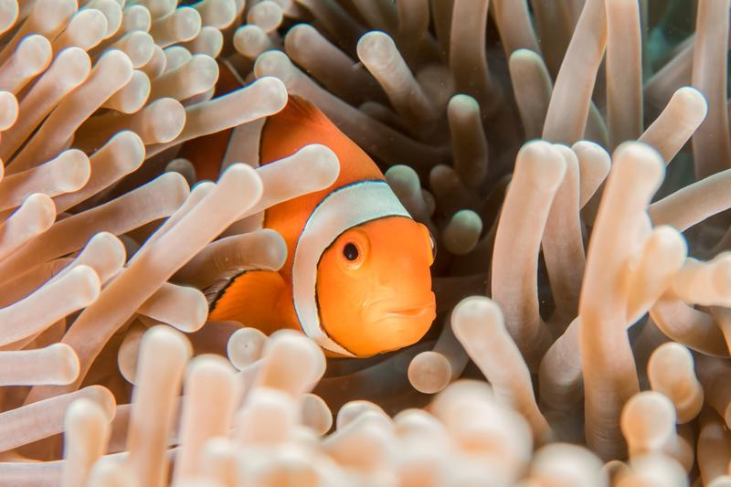 clownfish hiding