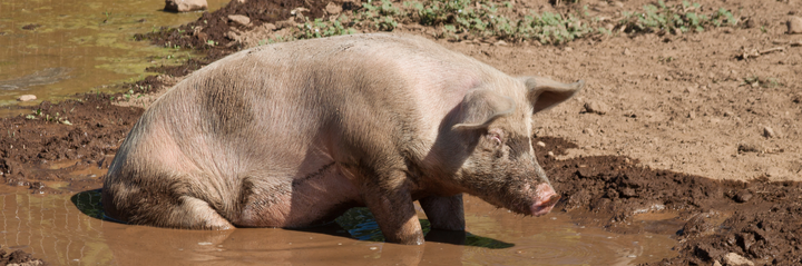 a pig standing in wet muddy brown water