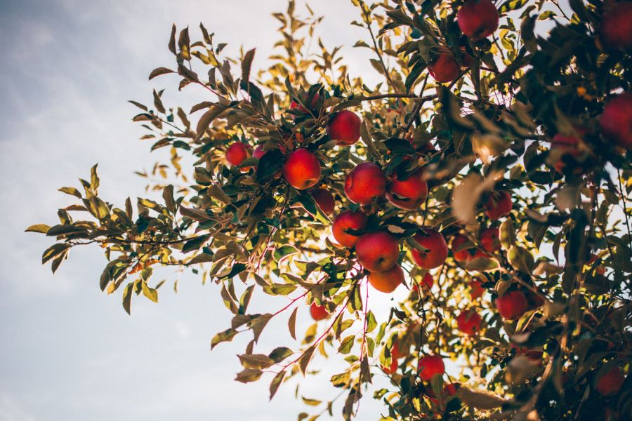 Red Apples Tree Outdoors