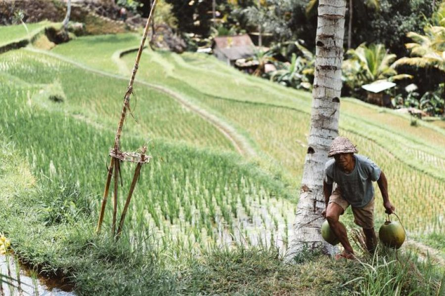 Carrying Items Up Hill From Rice fields