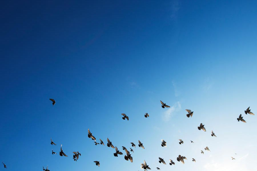 birds flocking in the blue sky